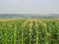 Pregatirea din toamnă a patului germinativ pentru porumb pe solurile grele din zonele colinare