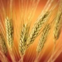 Cultura grâului, cum o ajutăm în toamnă